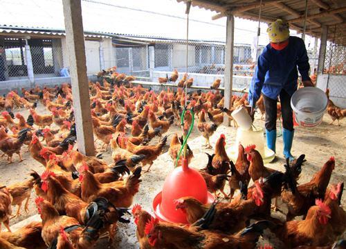 Mô hình chăn nuôi gà làm giàu ở nông thôn